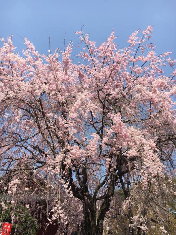 上野公園の桜2018