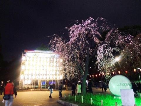 上野公園のお花見桜の様子